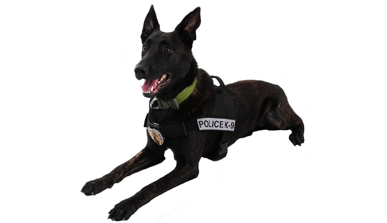 Dutch shepherd in K-9 harness lying down