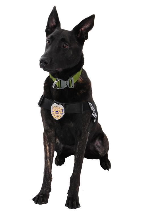 Dalton, a Dutch Shepherd in K-8 harness, sitting